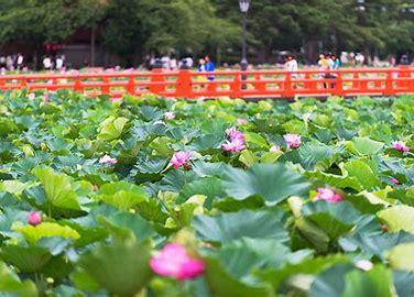 「上越高田は蓮の花が見頃を迎えました」